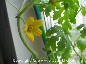 как вырастить арбуз на даче, выращиваем арбуз