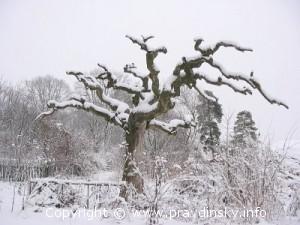 Древние дубы и могучий вяз капердаун в деревне Цитва