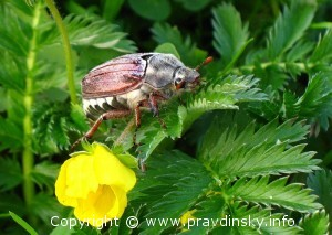 Борьбы с майским жуком,на даче и огороде,компостные кучи,хрущ,личинки хруща,уничтожение личинок майского жука