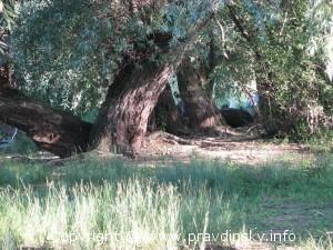 Ивы на берегу озера Сергеевичское