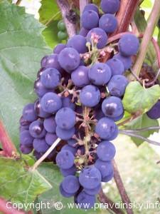 Надежная Изабелла, виноград Изабелла