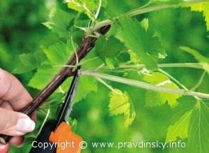 как обрезать листья смородины