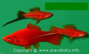 Аквариумные рыбки Меченосцы. Внизу самка.