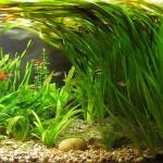 Валлиснерия гигантская – быстрорастущее растение в аквариуме