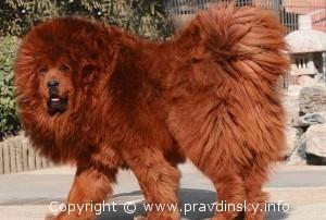 Самая дорогая собака в мире - Красный тибетский мастиф - куплена за $1,5 миллиона