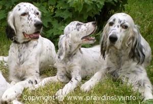 Описание породы Английский сеттер, достоинства и сложности с породой собаки Английский сеттер
