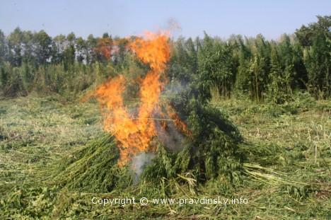 Вырвали и сожгли более 1200 килограммов дикорастущей конопли